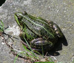 Rana Esculenta - Fotografia di Ib Rasmussen - di pubblico dominio (Tratta da Wikipedia)